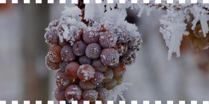 El vino que surgió del frío
